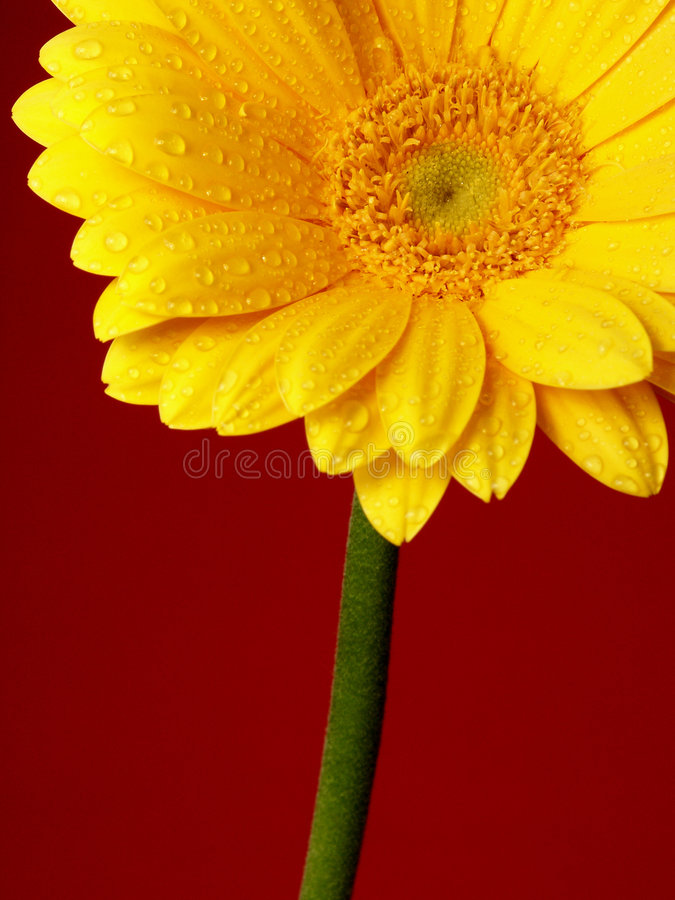 Gerber κίτρινος Στοκ φωτογραφίες με δικαίωμα ελεύθερης χρήσης