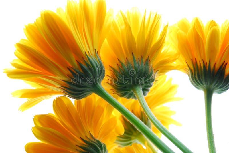 gerber κίτρινος στοκ φωτογραφία
