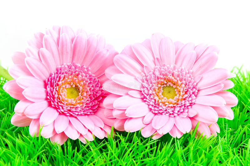 gerber πράσινο ροζ δύο χλόης στοκ εικόνες με δικαίωμα ελεύθερης χρήσης