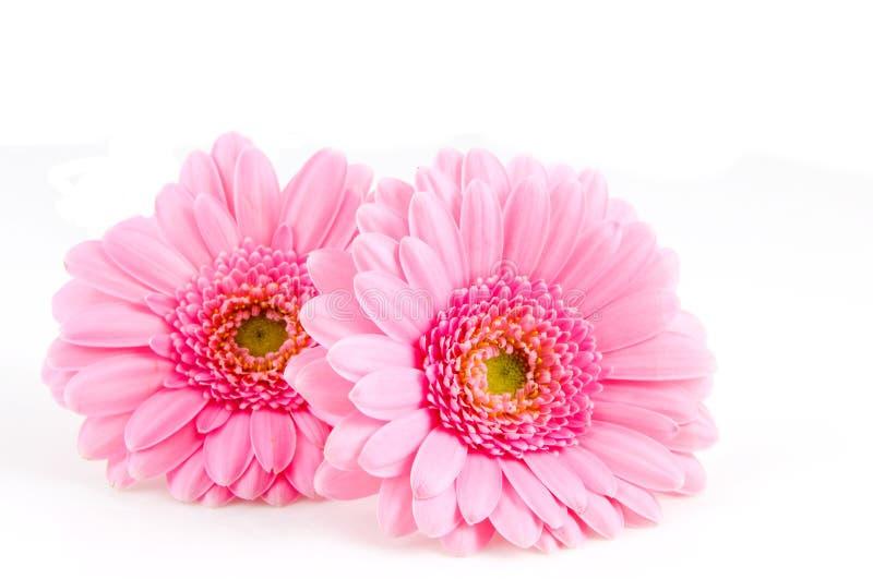 gerber ροζ δύο στοκ εικόνες