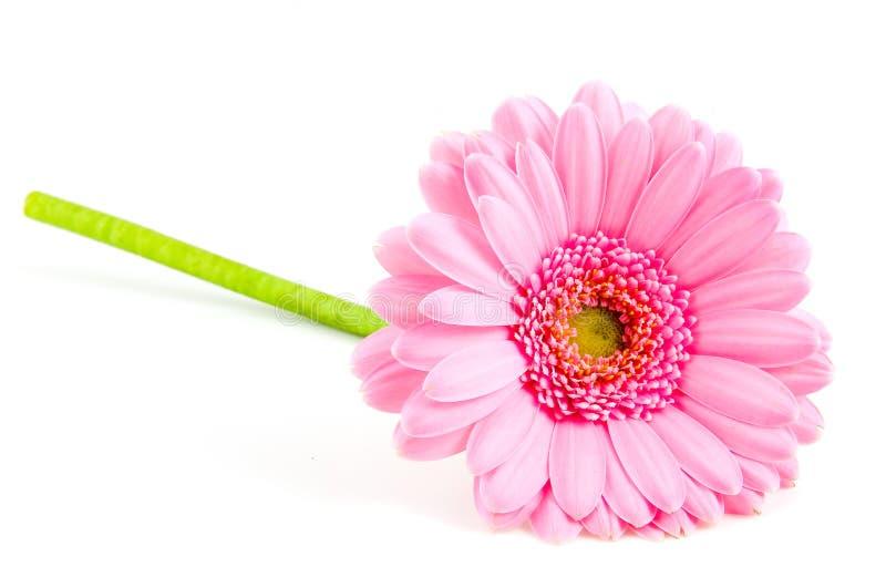 gerber ροζ ενιαίο στοκ εικόνες