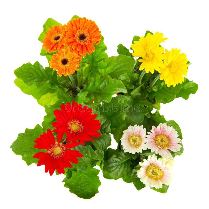 gerber φυτά στοκ εικόνες