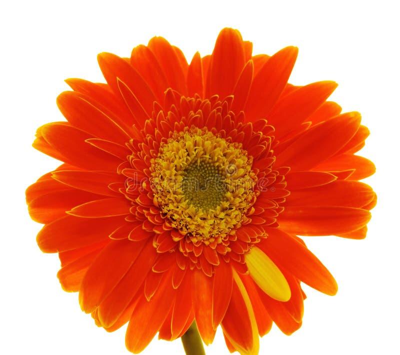 Download Gerber цветка стоковое фото. изображение насчитывающей present - 6867054