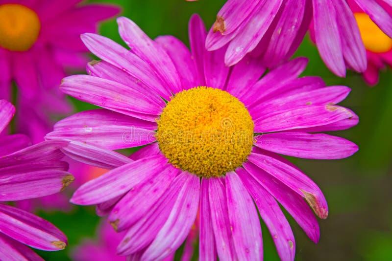 Gerber 与一个明亮的黄色中心的大桃红色雏菊 库存图片