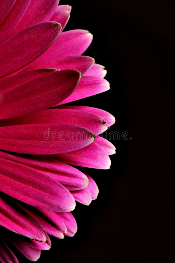 Download Gerber stock image. Image of beautiful, life, flower, cutout - 8819141