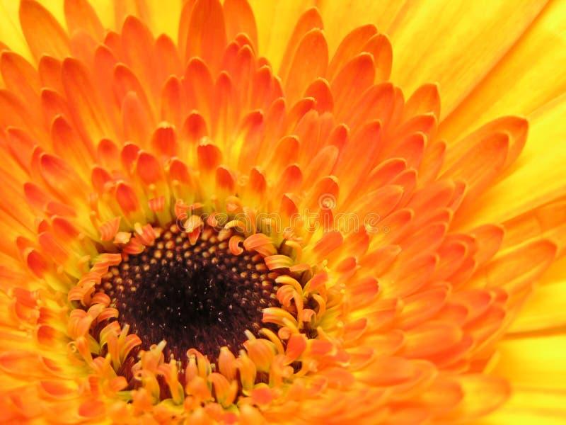 Gerber Amarelo Fotos de Stock Royalty Free