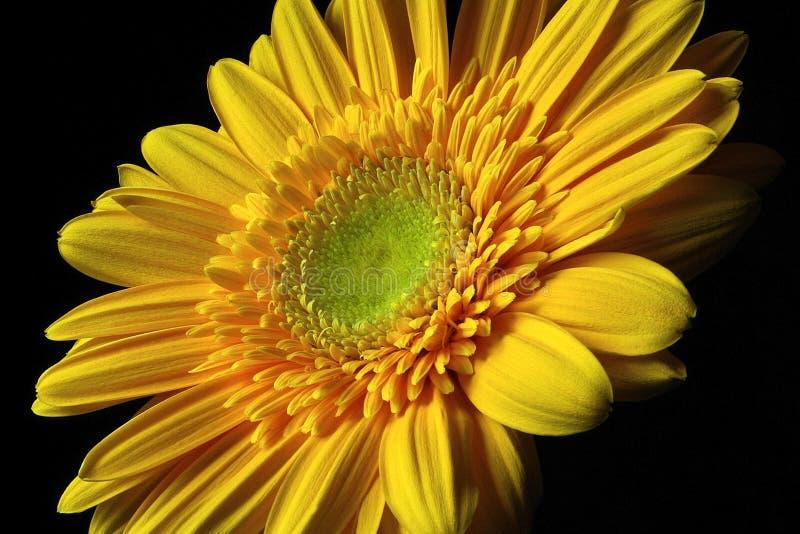 Gerber amarillo imágenes de archivo libres de regalías