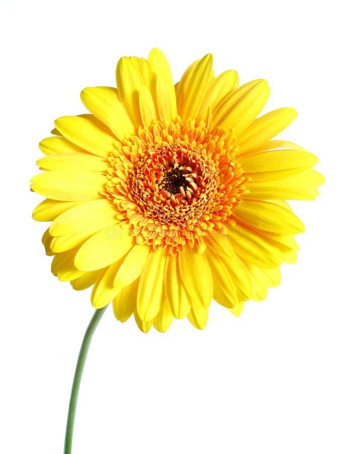 Gerber amarillo foto de archivo libre de regalías