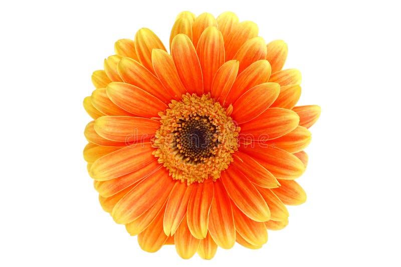 Gerber anaranjado fotos de archivo libres de regalías