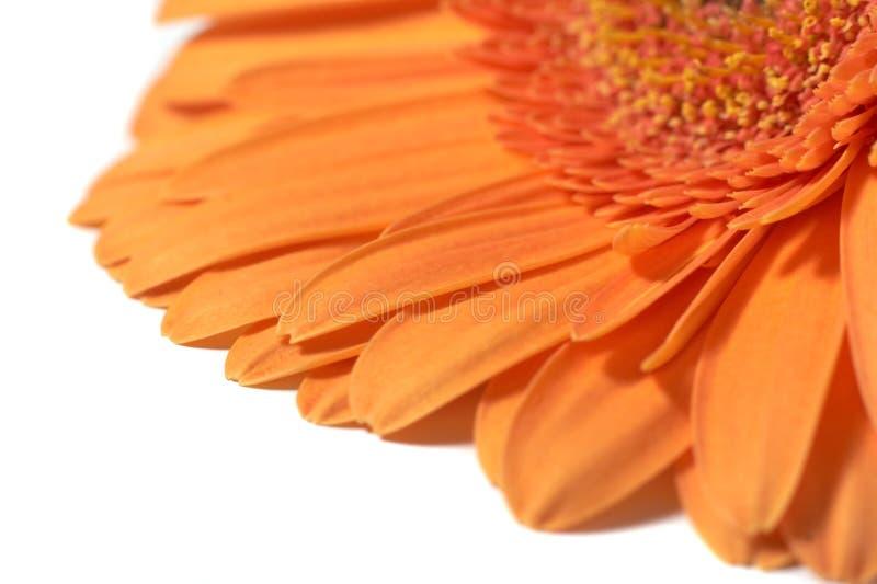 Download Gerber anaranjado imagen de archivo. Imagen de fondo, frescura - 7277559