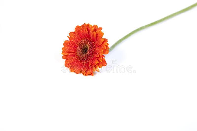 Gerber anaranjado en el fondo blanco 1 foto de archivo libre de regalías