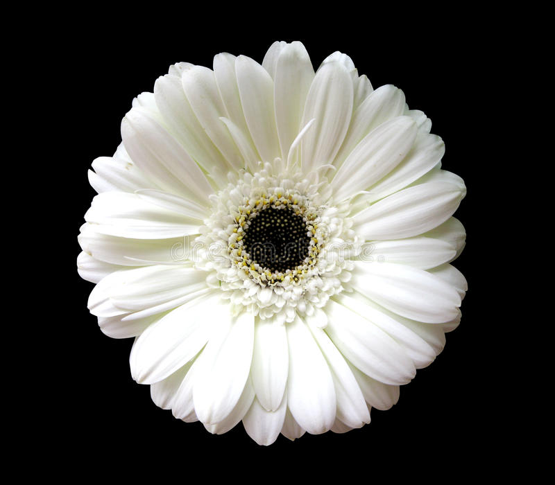 Gerber bianco fotografie stock