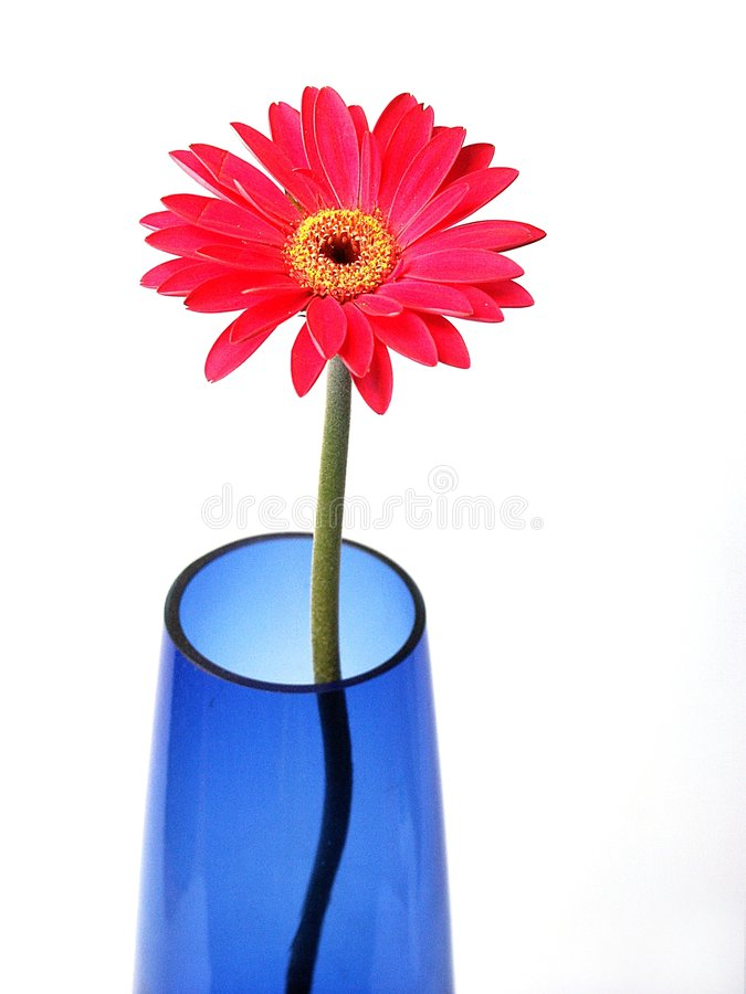 Gerber in blue vase royalty free stock image