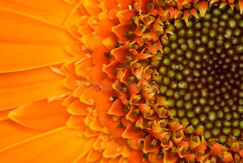 Gerber Blume lizenzfreie stockfotografie