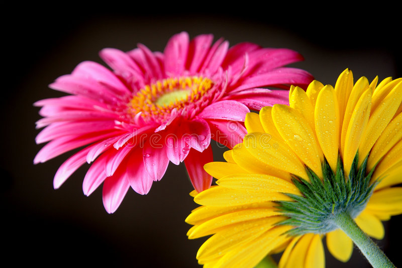 Gerber Blumen stockfotos