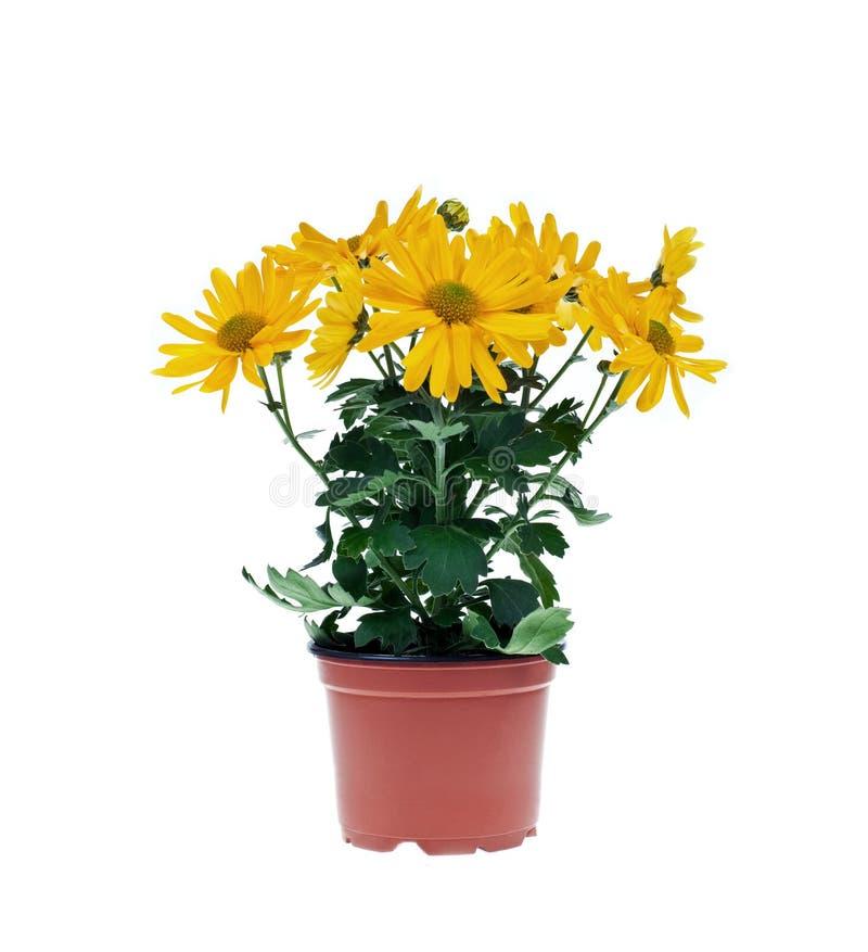 Gerber-Blumen im Vase stockfotografie