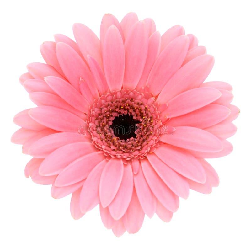 Gerber cor-de-rosa fotografia de stock