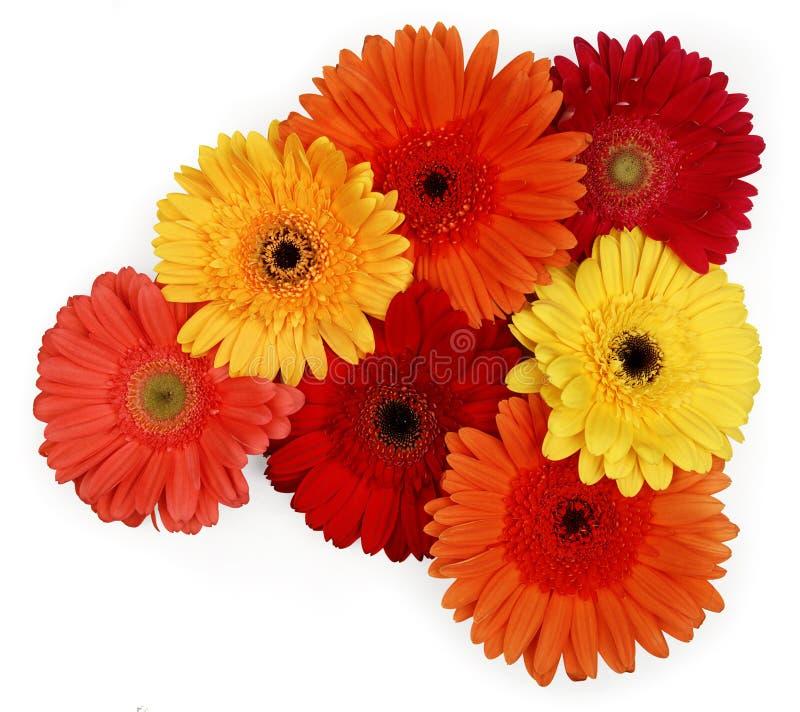 Gerber daisies royalty free stock photos