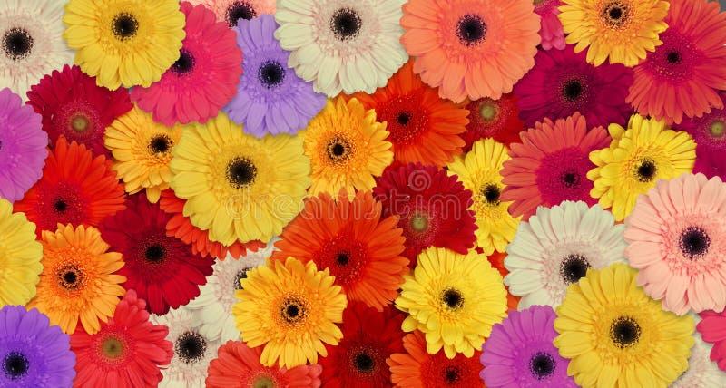 Gerber daisies stock photo