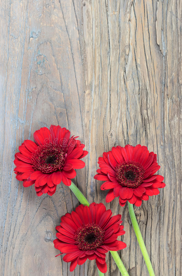 Gerber Daisies royalty free stock photography