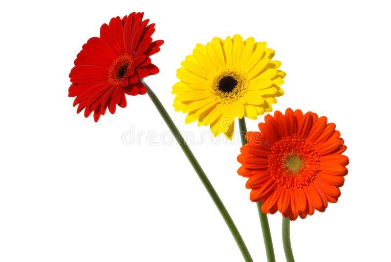 Gerber daisies on white royalty free stock photo