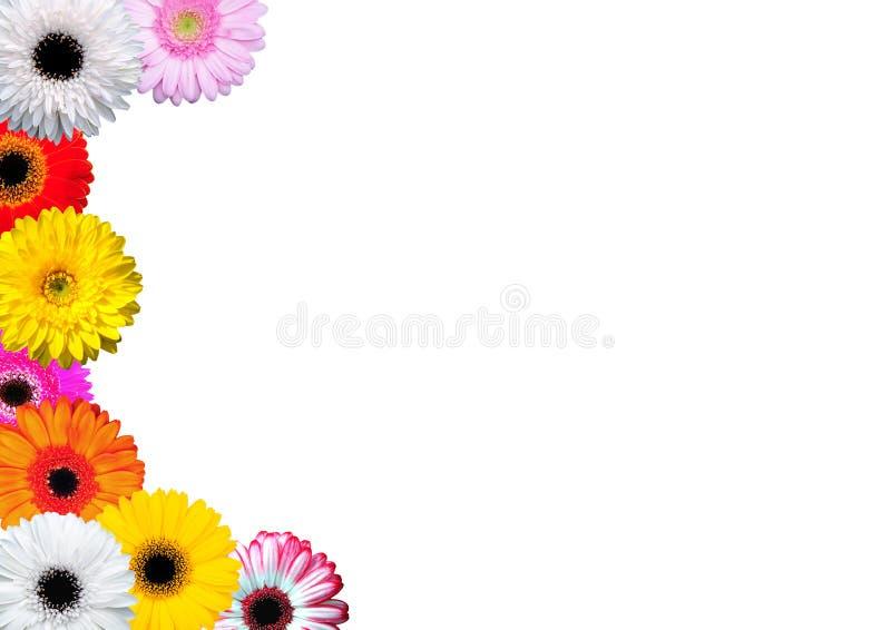 Gerber Daisy. 9 Gerber flowers daisy isolated stock photo