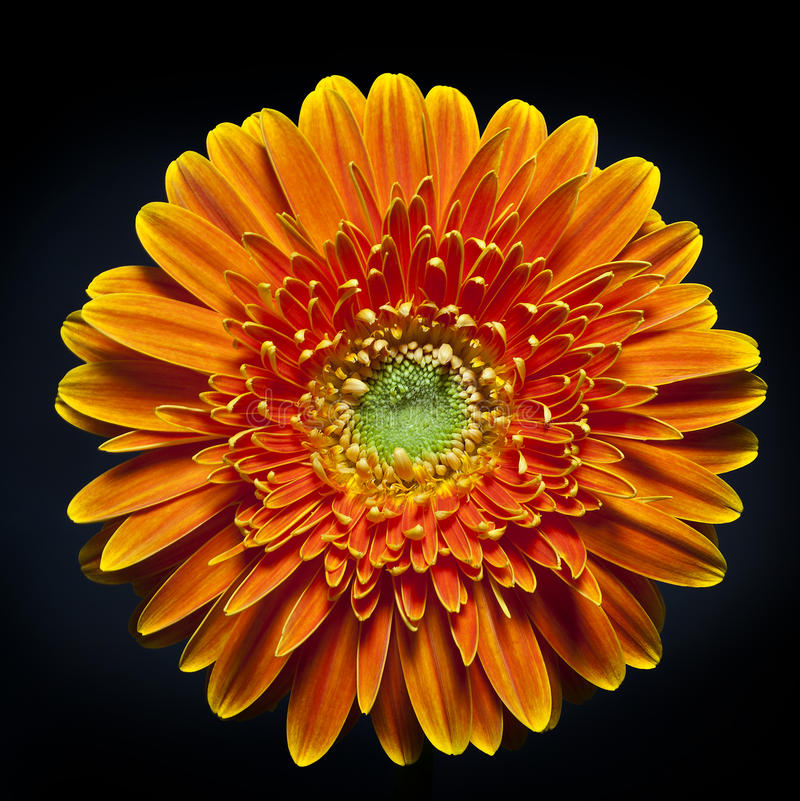 Download Gerber daisy stock photo. Image of colorful, arbor, black - 23980042
