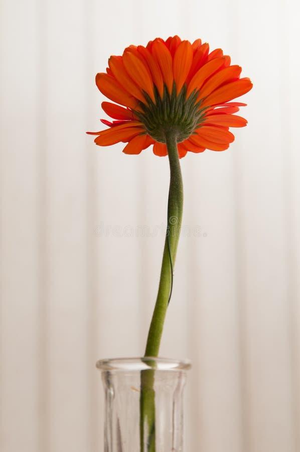 Download Gerber Daisy stock afbeelding. Afbeelding bestaande uit sinaasappel - 54075247