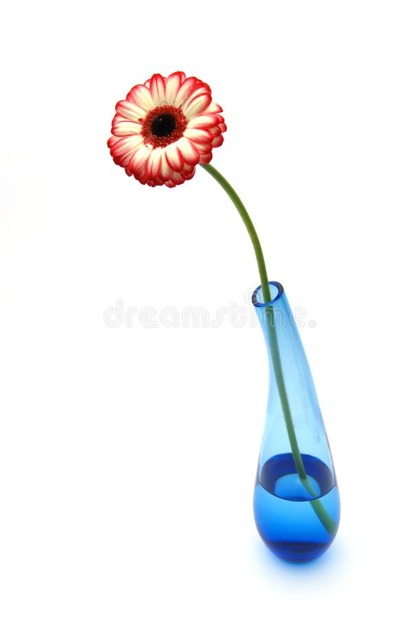 Gerber daisy in blue glass vase stock photography