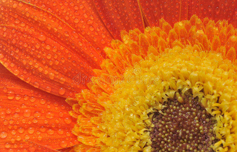 Gerber daisy stock photo