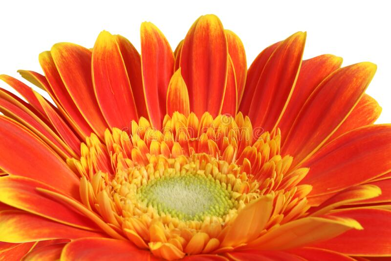 Gerber daisy flower on white background royalty free stock photos