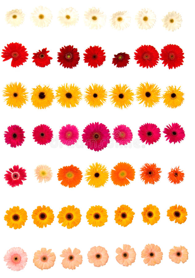 Gerber daisy flowers royalty free stock photo