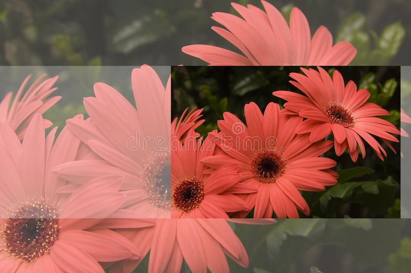Gerber Daisy Greeting Card stock image