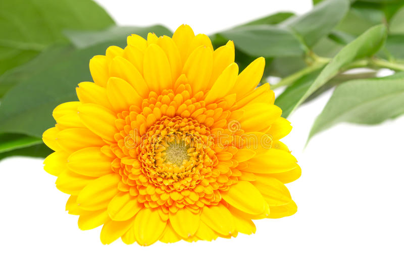 Download Gerber Daisy Isolated On White Background Stock Images - Image: 29912124
