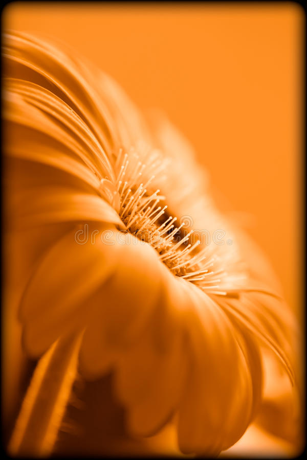 Gerber Daisy Special Effect royalty free stock images