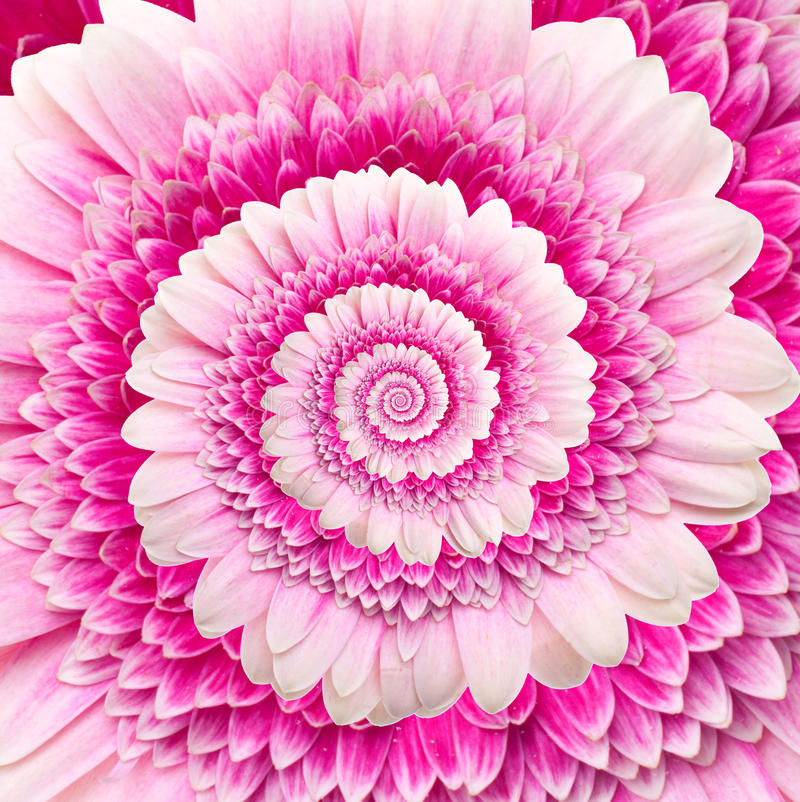 Gerber flower infinity spiral abstract background vector illustration