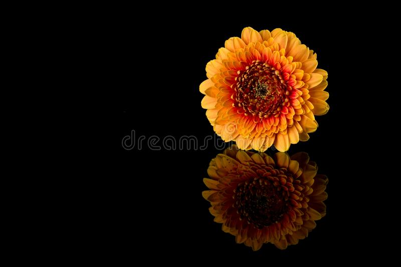 Gerber flower. Yellow and Orange Gerber reflecting isolated on black background. royalty free stock photos