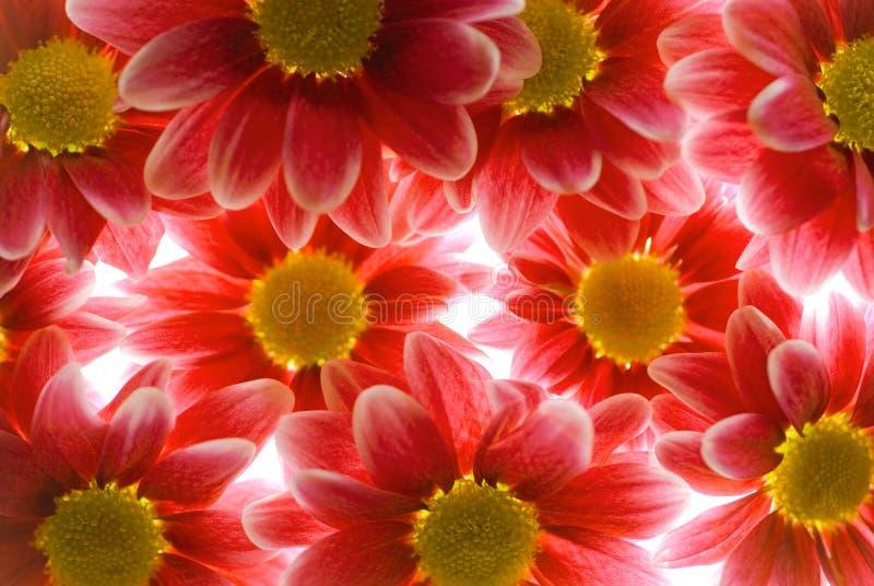 Download Gerber flowers stock photo. Image of wallpaper, close - 8224958