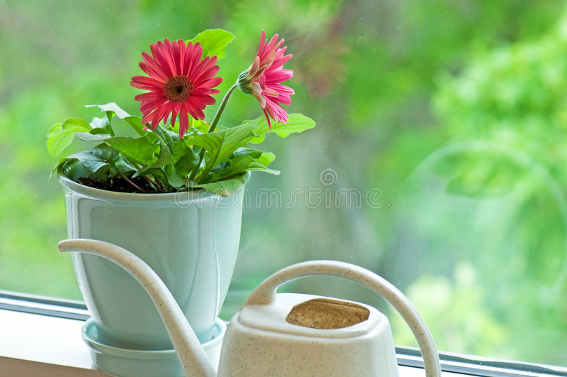 Gerber Gänseblümchen und Wasserdose stockfotos