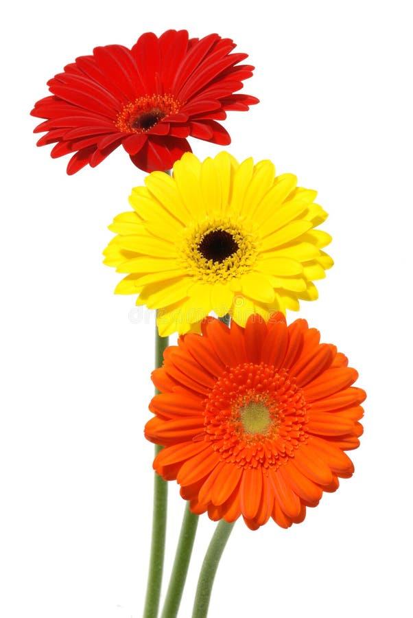 Gerber Gänseblümchenblumen getrennt auf Weiß lizenzfreies stockfoto