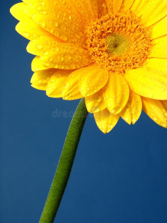 Gerber giallo fotografie stock