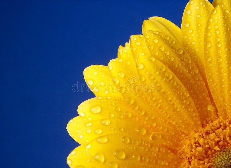 Gerber giallo fotografia stock libera da diritti