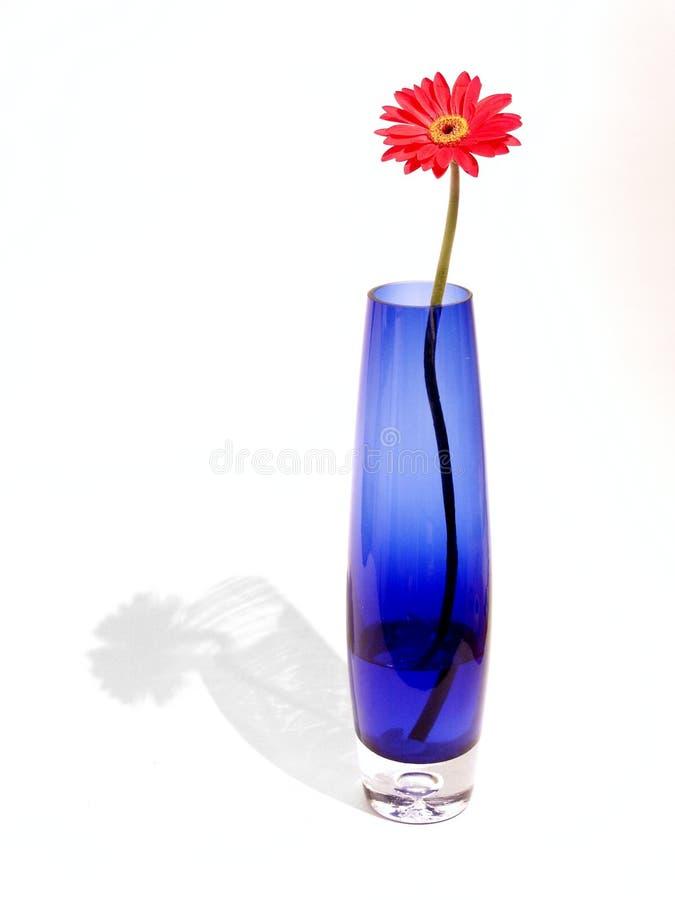 Gerber im blauen Vase stockbilder