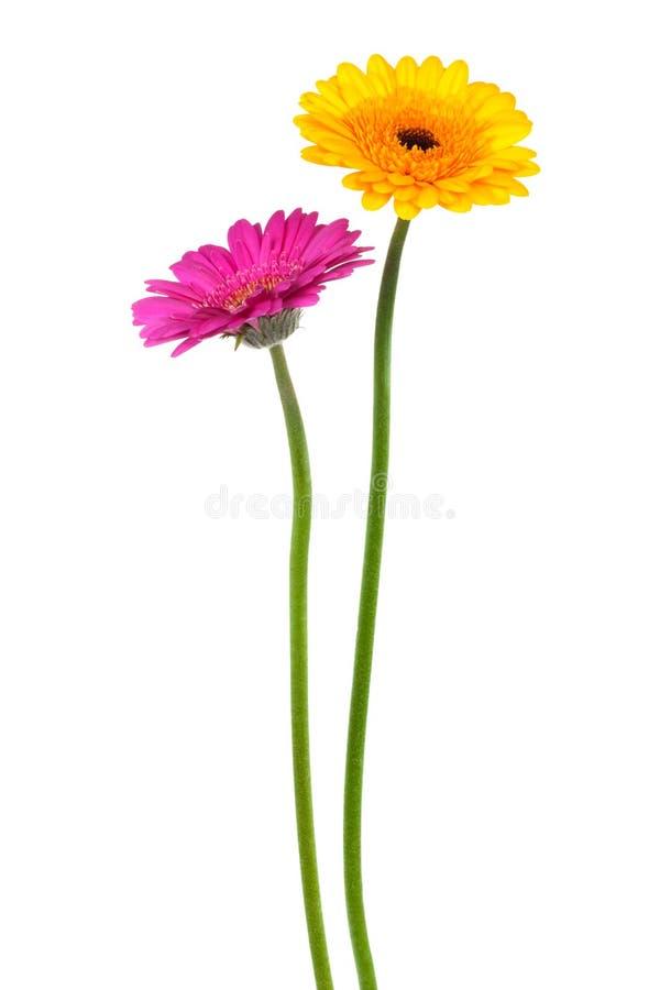 Gerber jaune et rose image stock