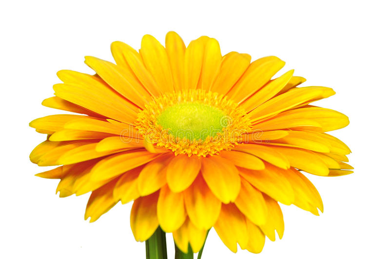 gerber kolor żółty fotografia royalty free
