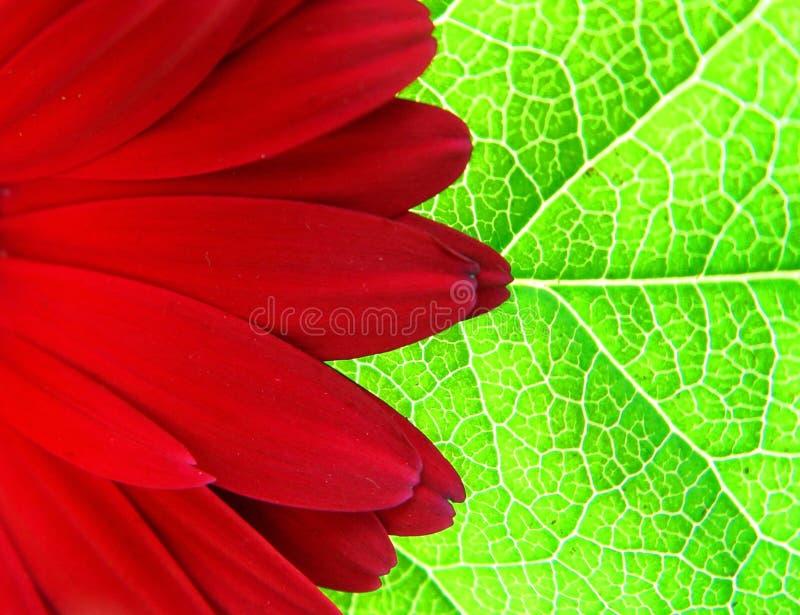 Gerber on the leaf stock photos