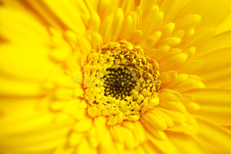 Download Gerber Macro stock image. Image of yellow, natural, background - 24397887