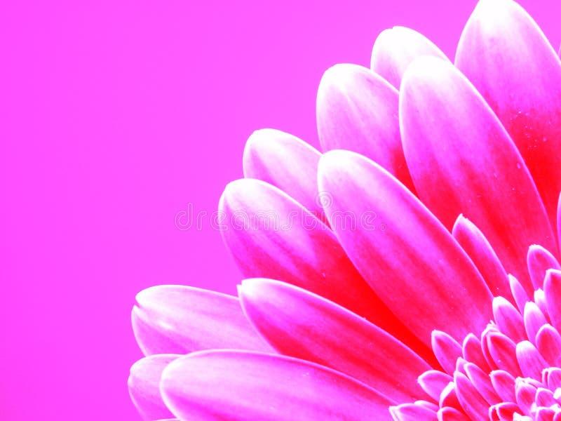 Gerber na cor-de-rosa imagem de stock royalty free