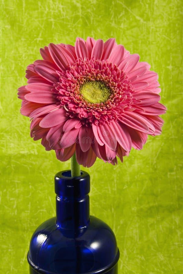 Gerber oder Gerbera-Gänseblümchen in der colbalt Flasche stockfotografie