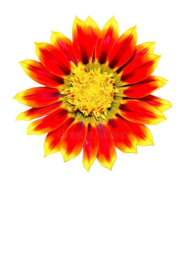 Gerber orange et jaune photographie stock